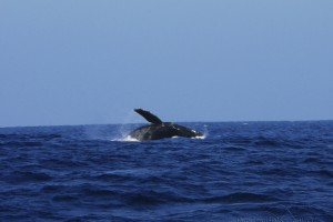 Whale watching ~ Giant humpback whale breaching off the North shore of Kaua'i. Princeville Vacations